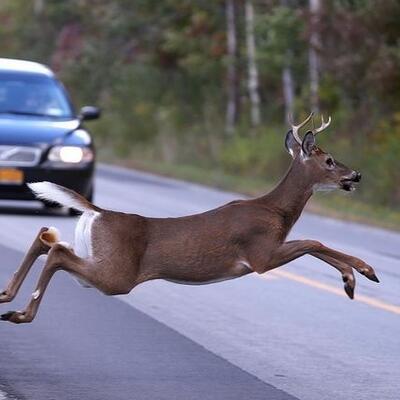 deer on highway